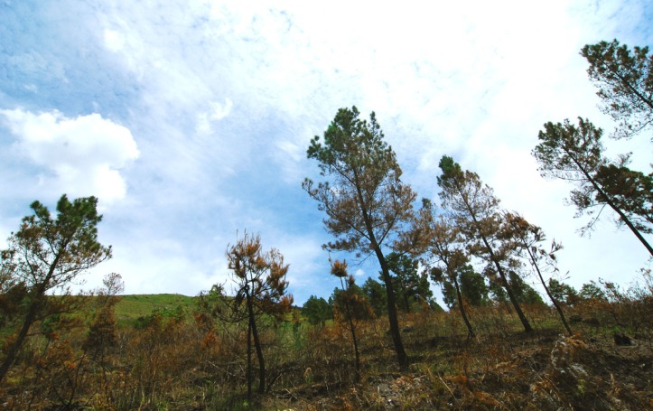 sebagian hutan pinus yang dibakar :(