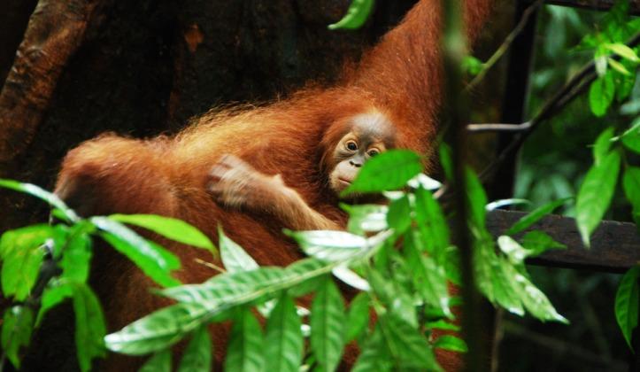 salah satu bayi orang Utan di hutan Leuser