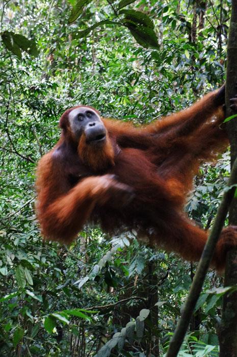 Orangutan Jantan