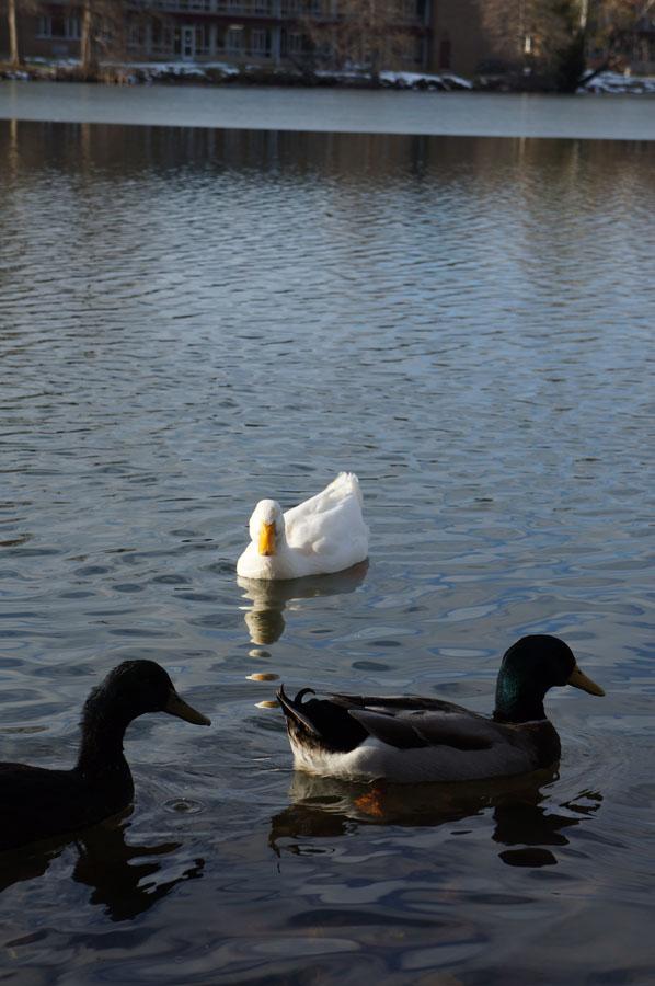 buanyak banget nih bebek ama angsa di danau