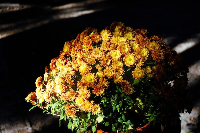 Sepanjang kita jalan kaki di Kyoto, hampir disetiap rumah kita ketemu bunga-bunga cantik kayak gini.