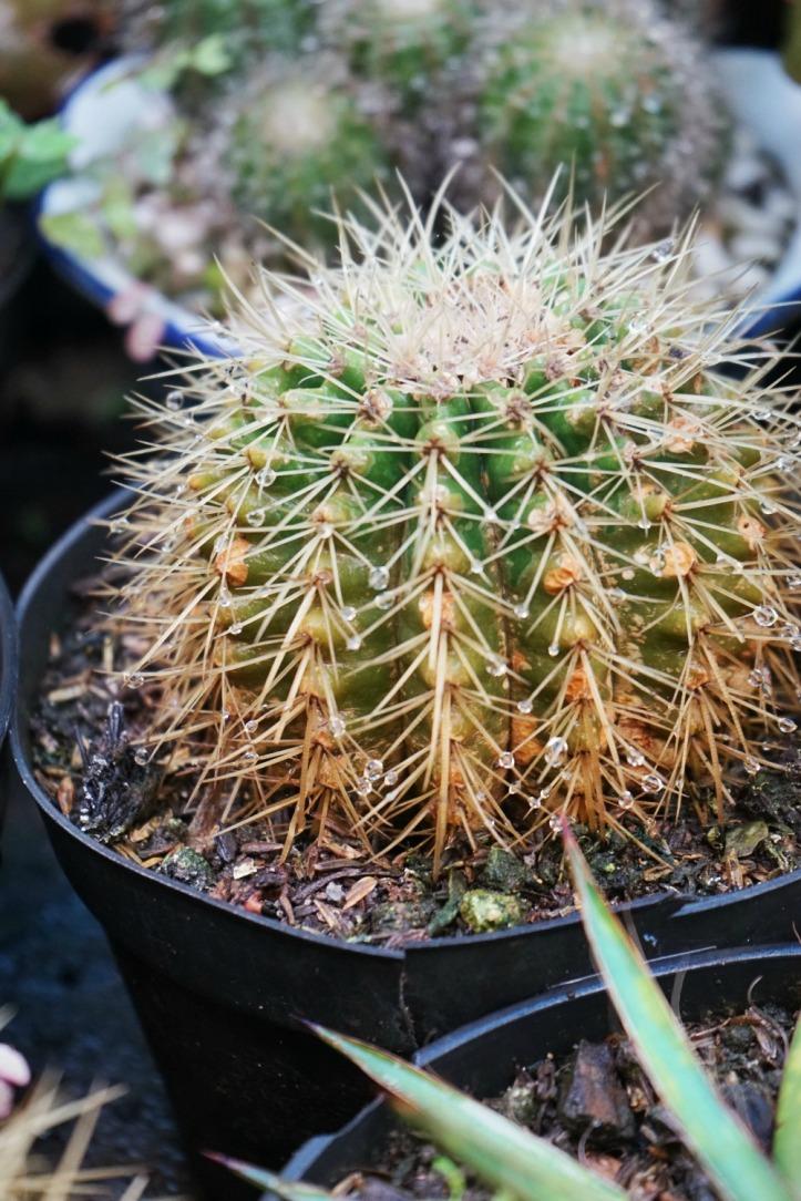 Kaktus banyak banget dijual disana