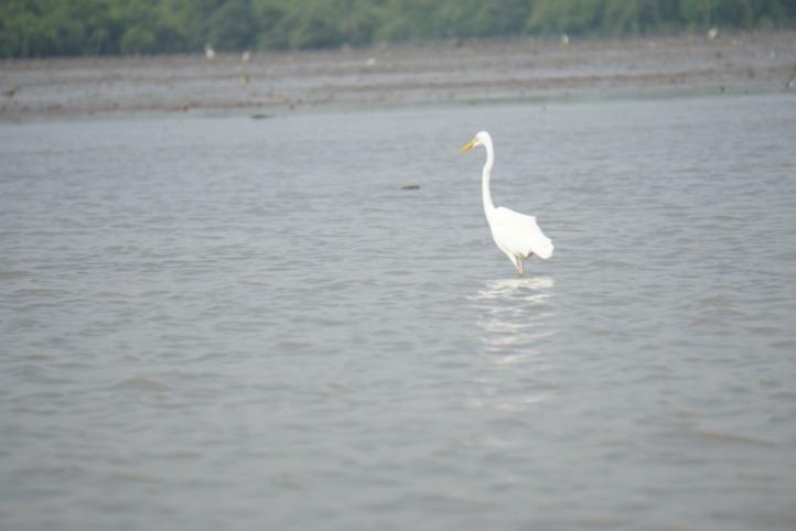 Burung kuntul yang biasanya banyak di kolam/sungai/sawah
