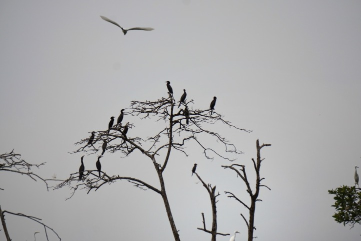 Burung kuntul hitam