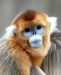 pic source : imgkid.com Burmese snub-nosed monkey