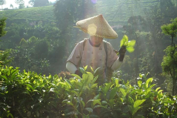 perkebunan teh rancabali – ciwidey