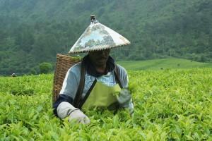 Perkebunan teh RancaBali - Ciwedey