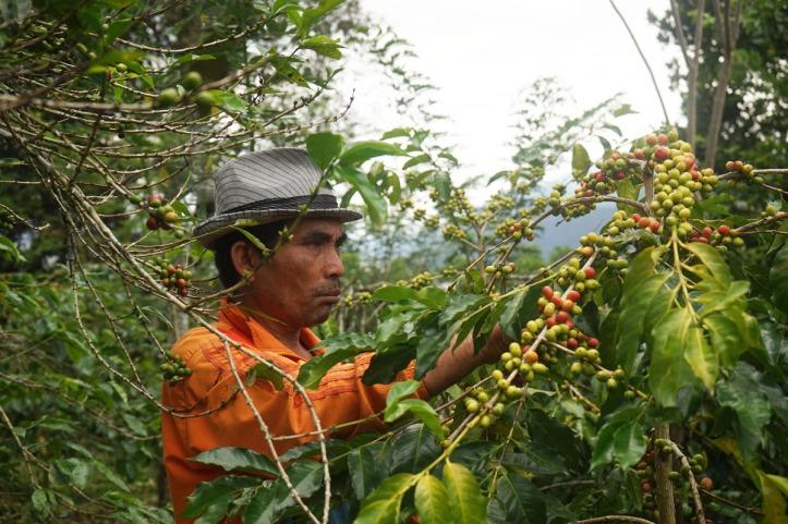Coffee Tour Takengon Gayo - Aceh Tengah Saya lupa nama bapak ini tapi dia cukup ramah dan bersedia akting seperti memetik kopi. Aslinya beliau baru kembali dari kebunnya