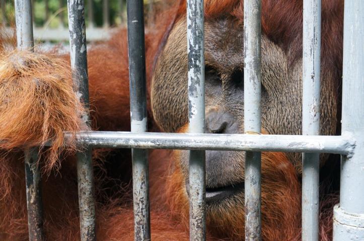 Leuser Orangutan