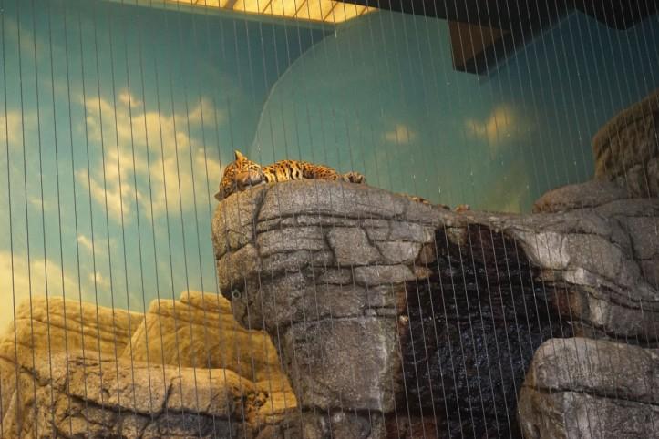 Harimau yang tidur