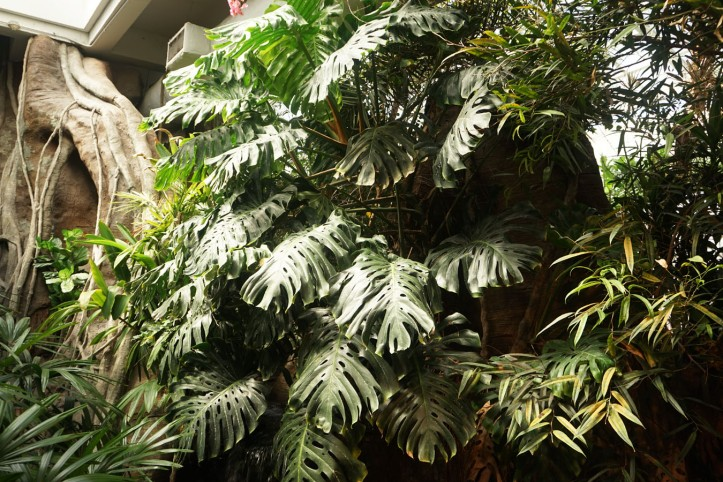 Hutan Monstera