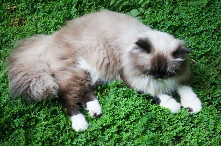 Himalaya Cat
