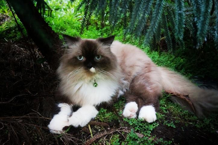 Thomas - Himayalan Cat